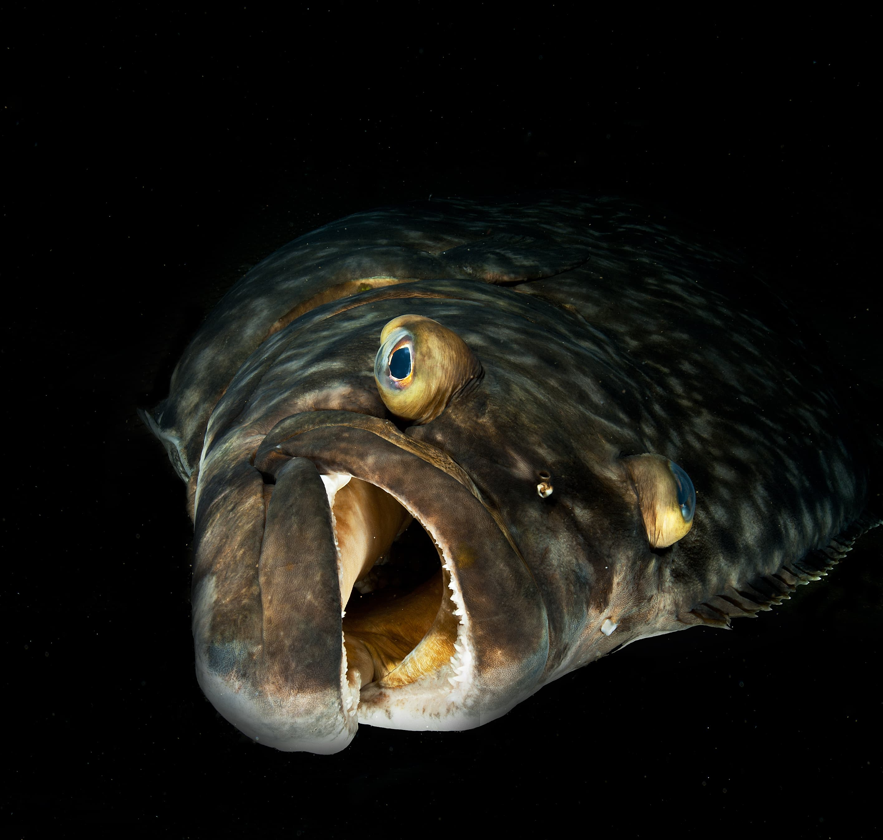 head of a halibut