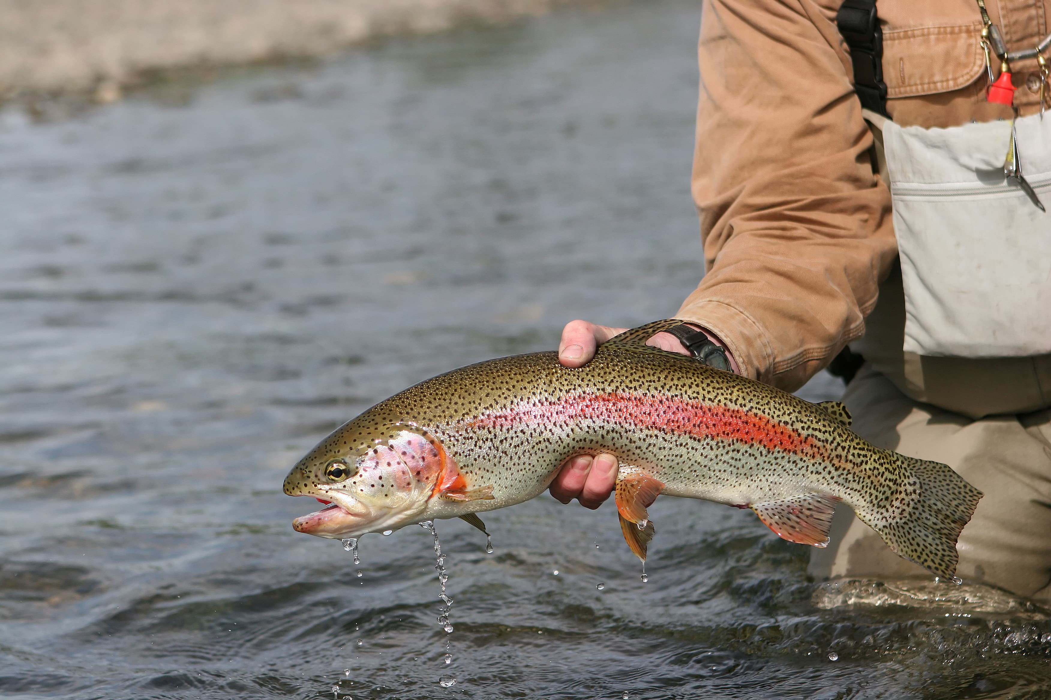 Man lifting an Alaska rainbow trout from the water