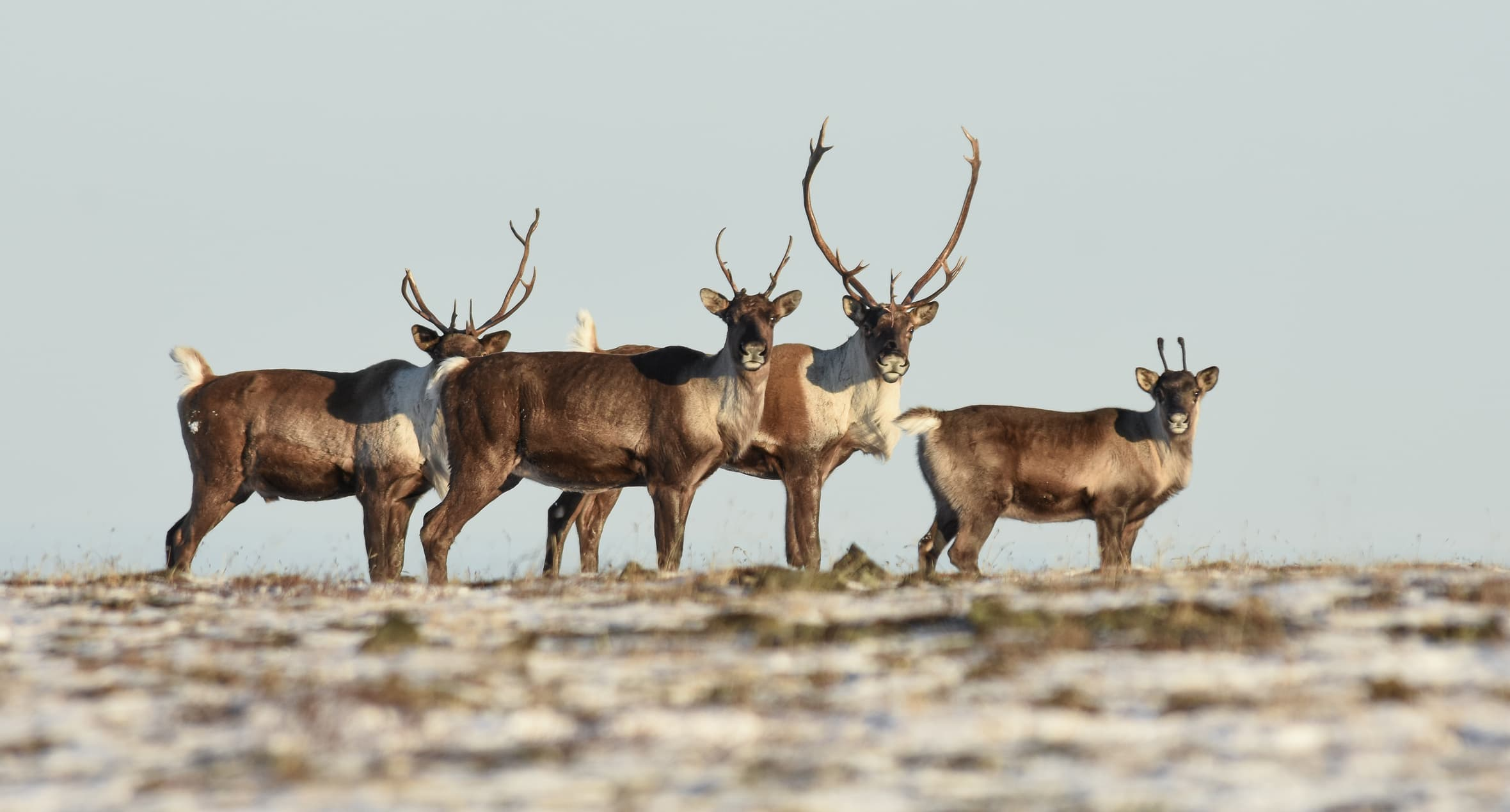 Alaska Band of Caribou in Field With Antlers