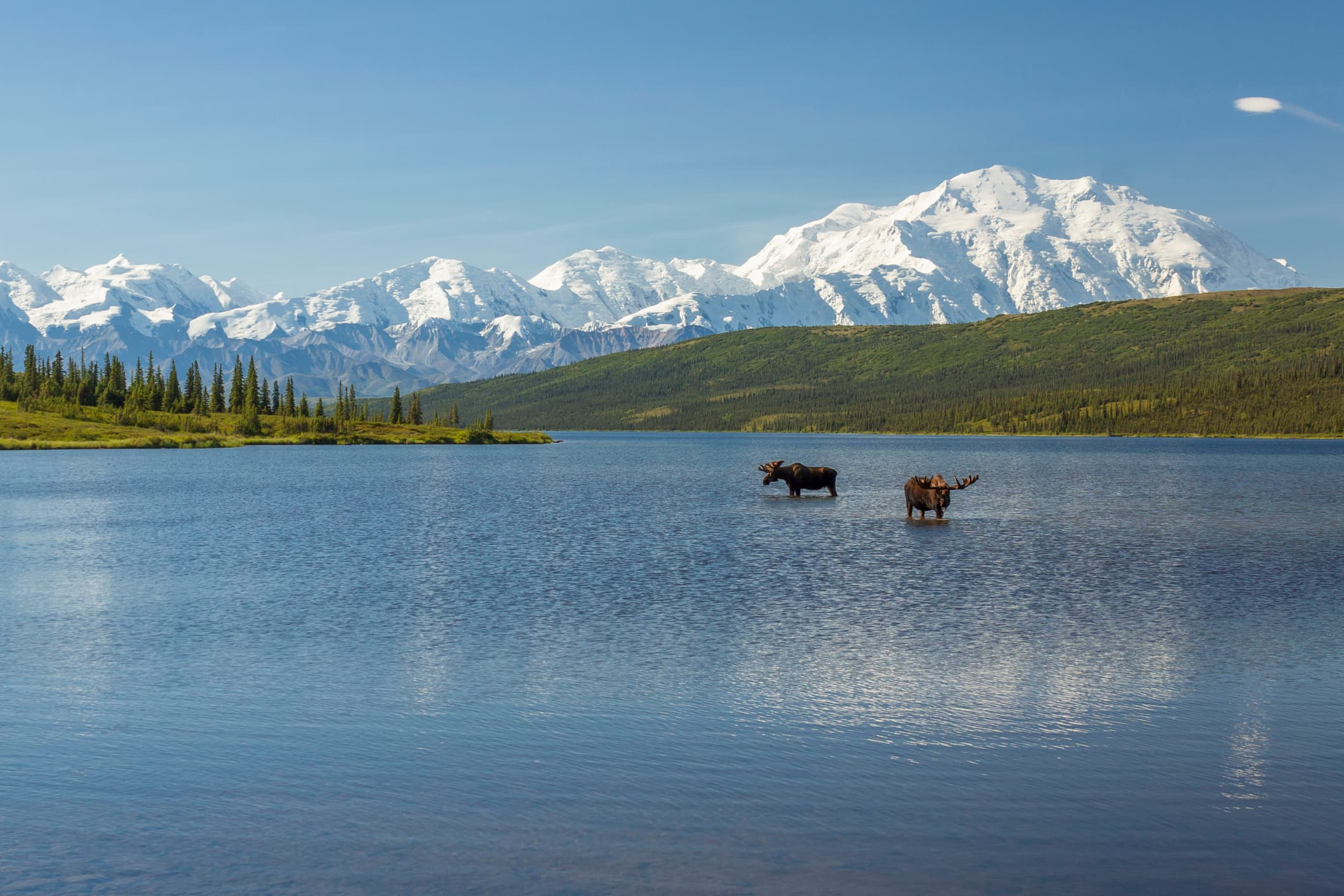 Two bull moose feeding in Wonder Lake