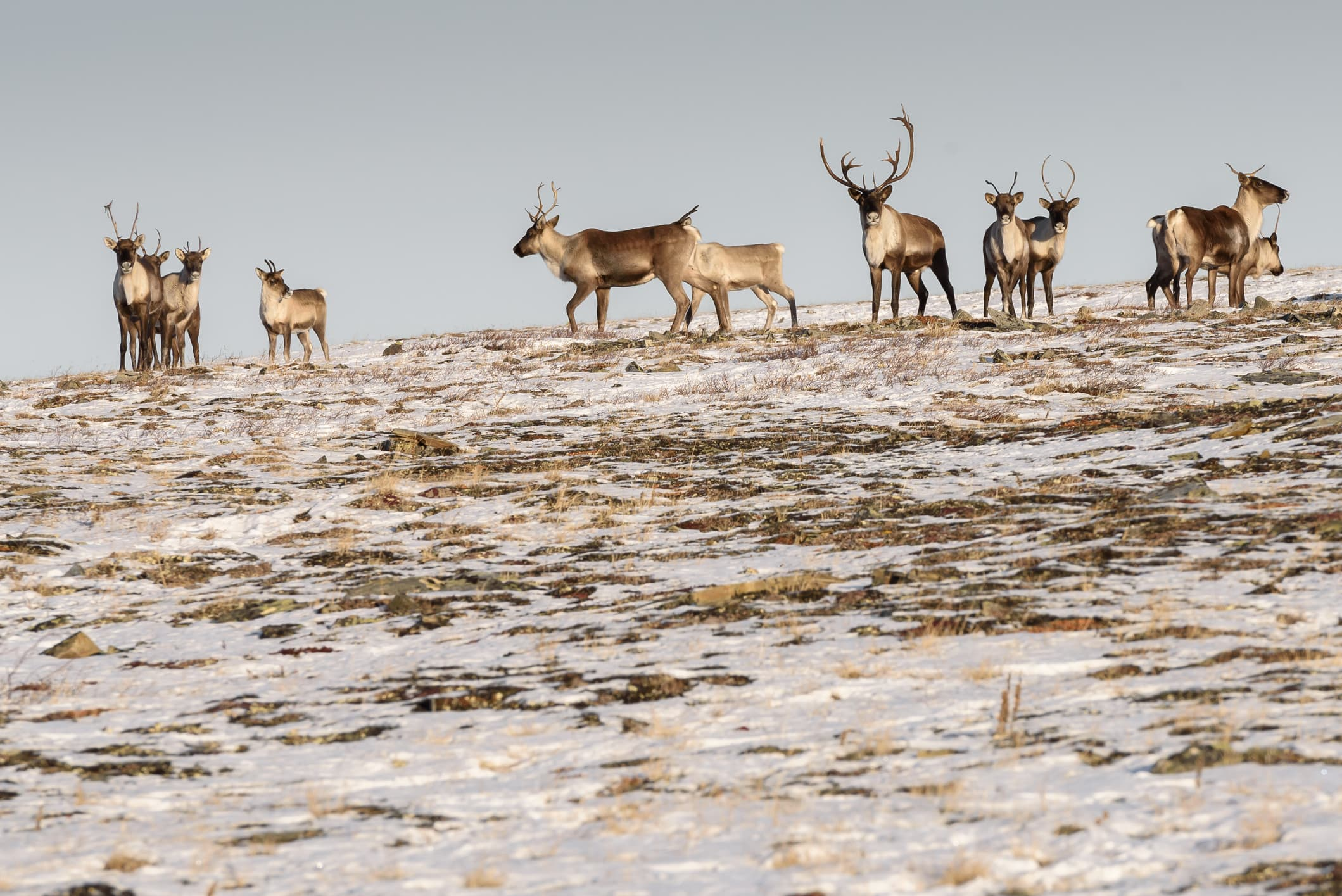 caribou herd on a hill