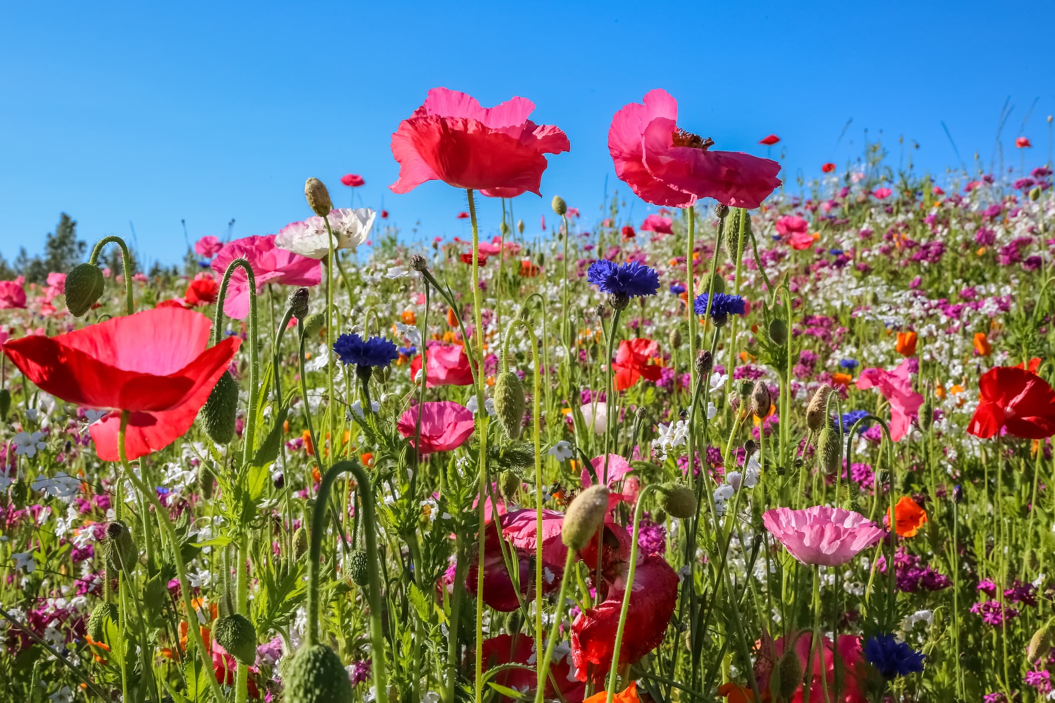 Close up of a colorful wildflower meadow