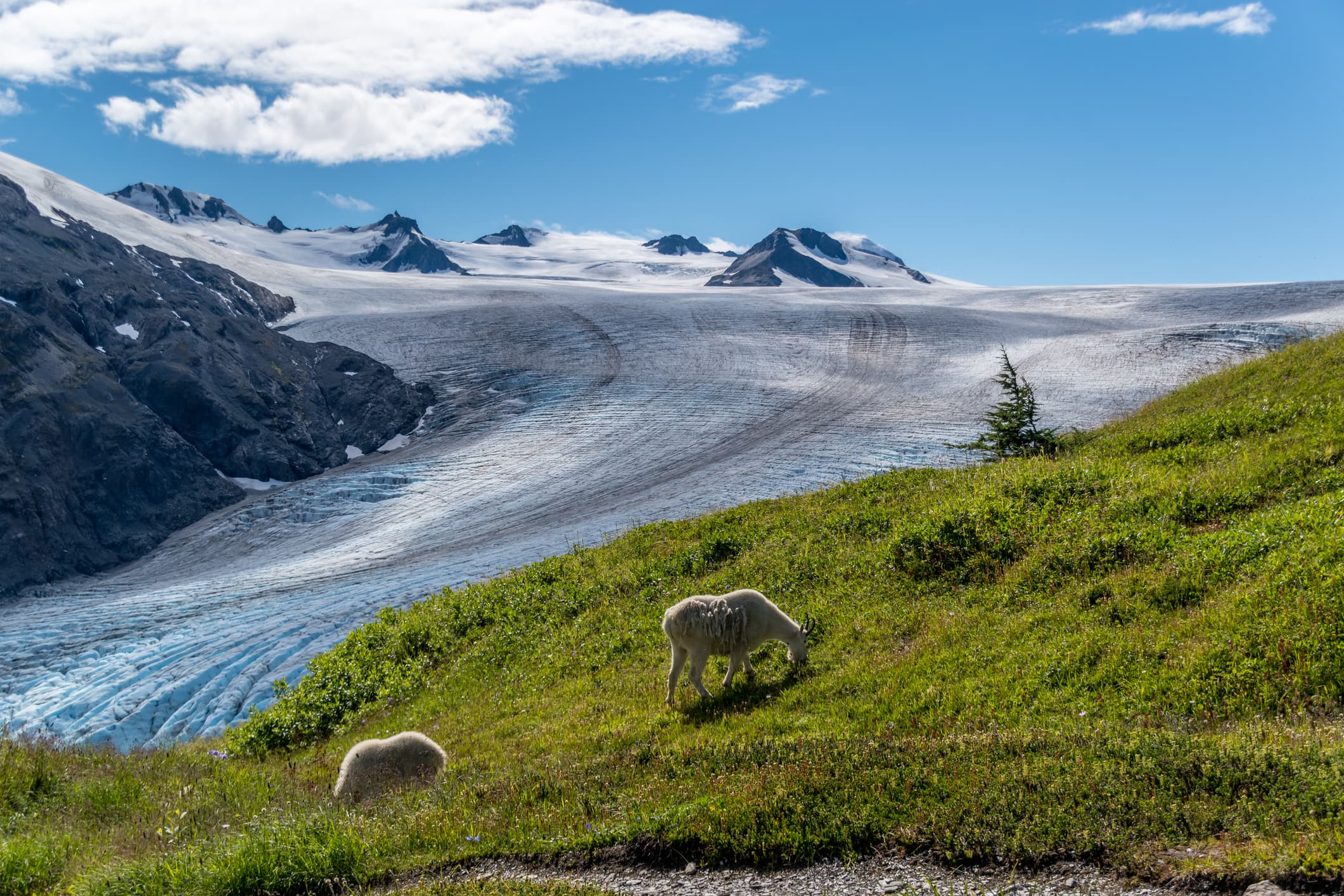 Mountain goats and glaciers in Alaska
