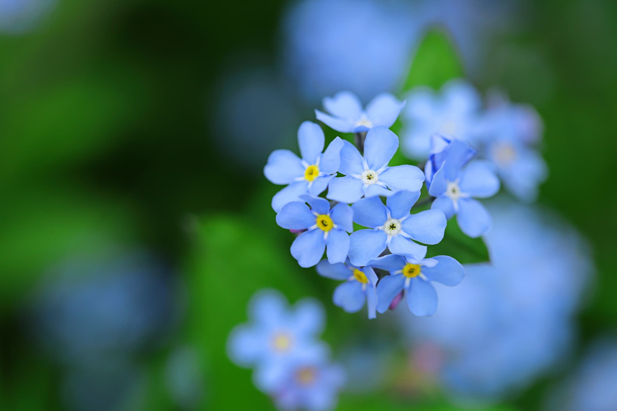 light blue forget-me-not flowers
