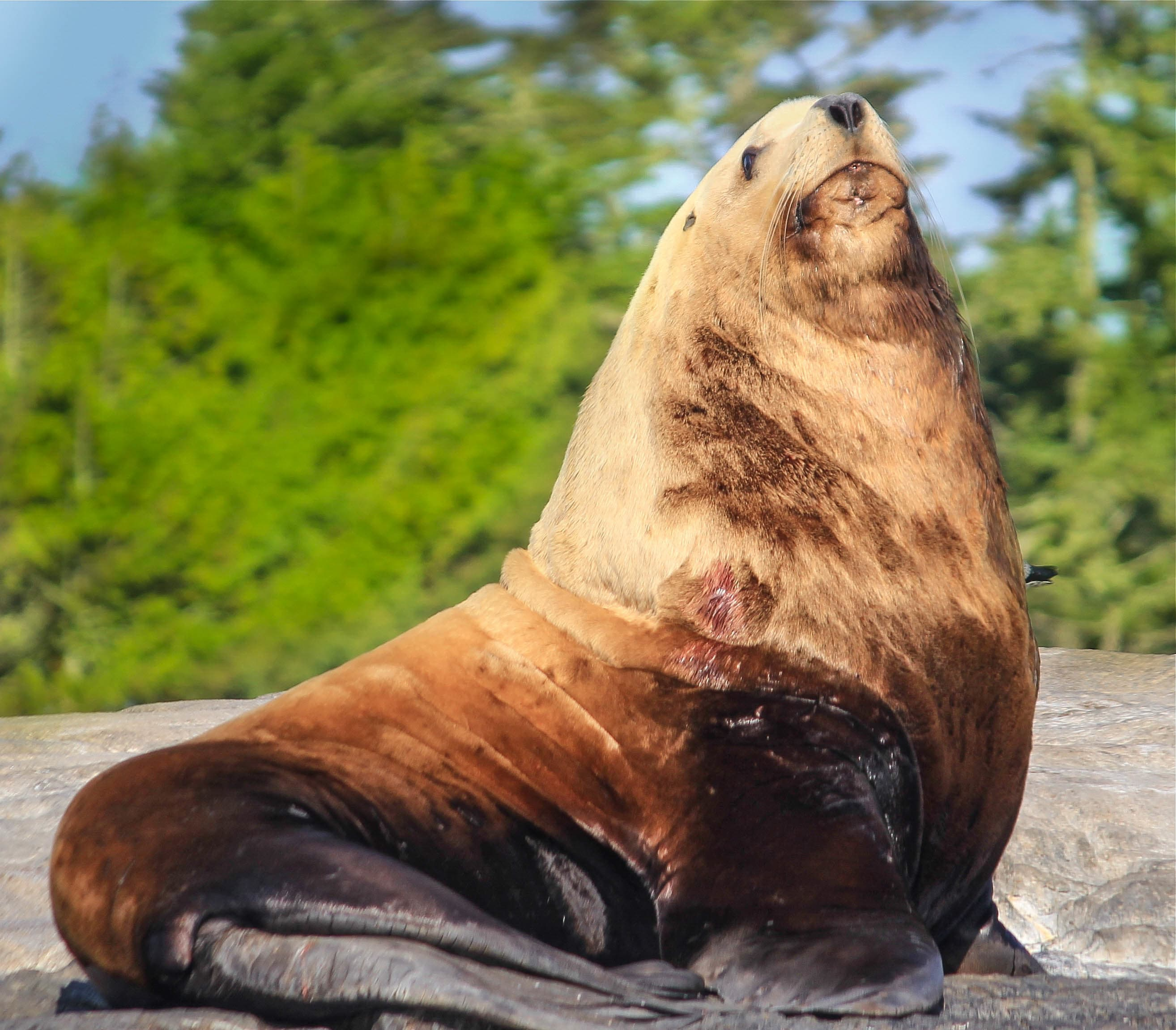 stellar sea lion with trees in the background