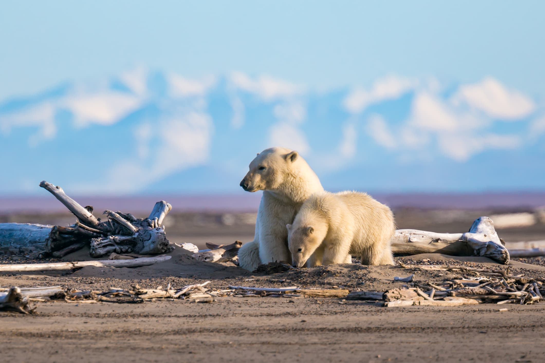 two polar bears with snowy mountains in the background