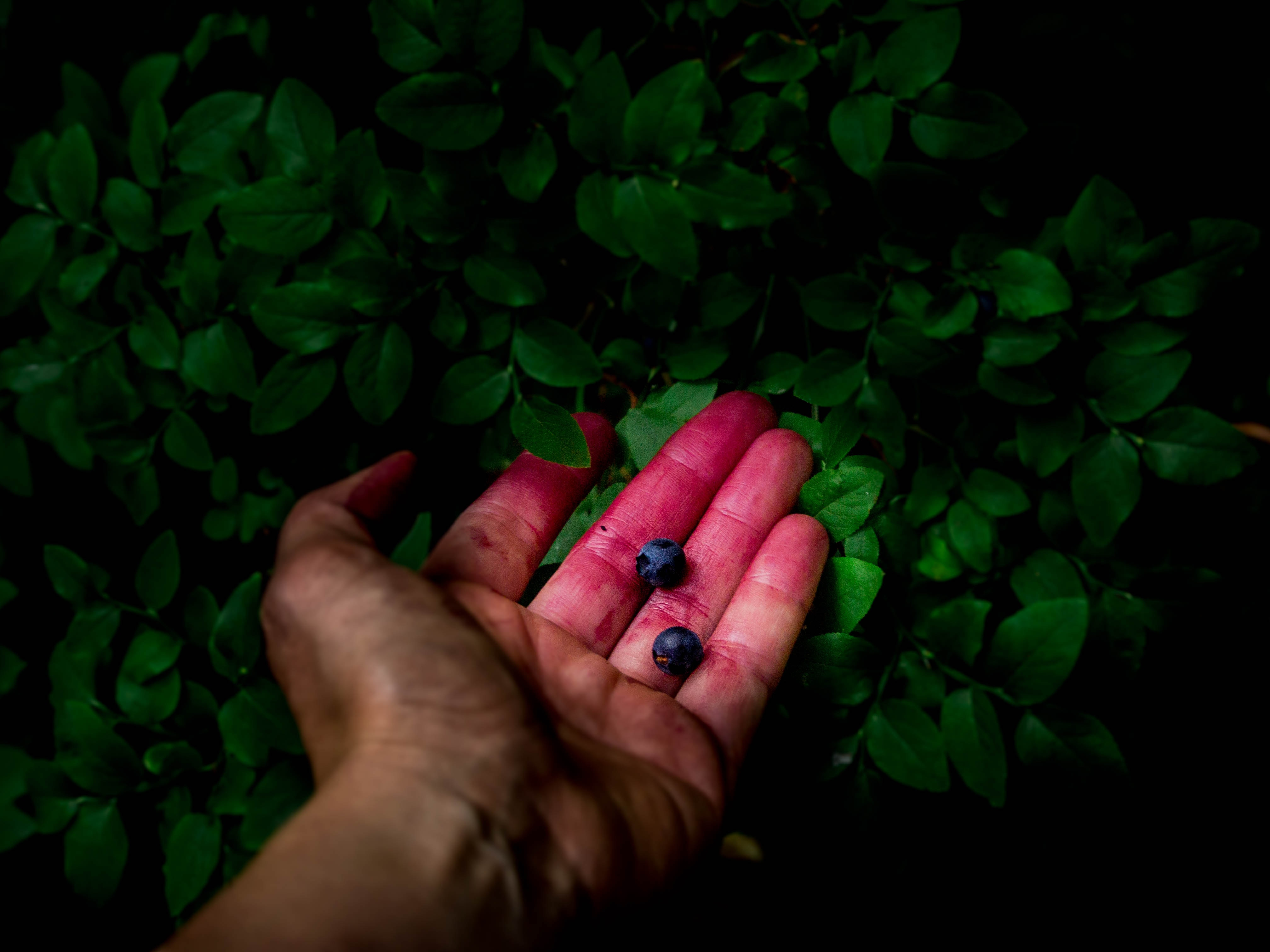 Hand Holding Blueberries in a Green Bush