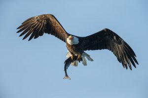 bald eagle flying while holding a salmon in its talons