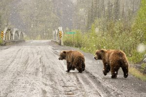 two grizzly bears walking on Dempster Highway in the snow