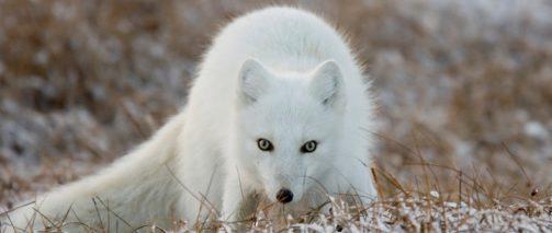 white arctic fox