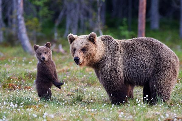 Brown Bear Viewing in Alaska