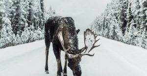 Moose Licks Salt on Snow Covered Road Surrounded by Snow Covered Pine Trees
